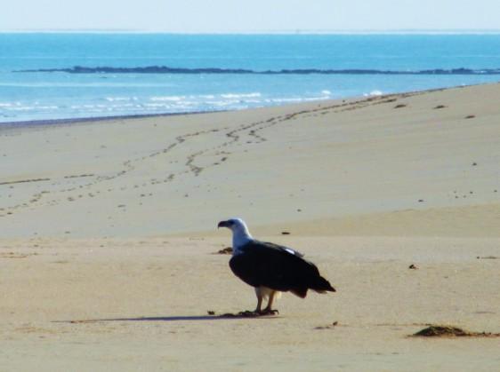 MF BIG SEA EAGLE